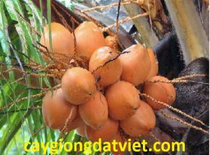 Dừa xiêm lùn đỏ cây giống chuẩn F1