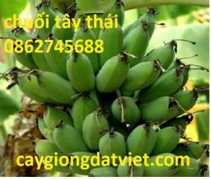 Chuối tây Thái Lan cây giống F1
