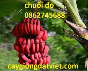 Chuối đỏ Dacca cây giống F1