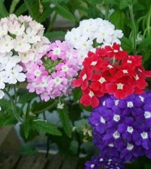 Hạt giống hoa mã vân anh, tiên thảo Phú Nông
