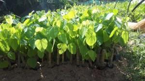 Rau Bò khai  Cây giống rau bò khai, cách trồng rau bòi khai từ nhà cung cấp cây giống