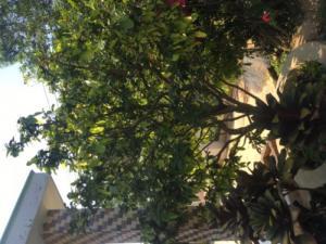 2 cây mai bông lớn hơn 12 cánh