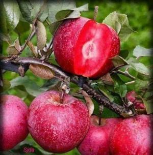 Cung cấp cây táo đỏ
