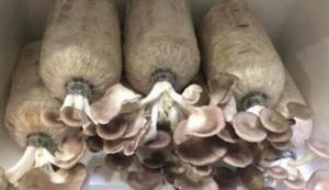 Phôi nấm bào ngư xám combo 4 bịch trồng nấm tại nhà