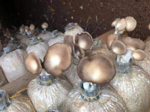 Phôi nấm bào ngư xám combo 4 bịch trồng nấm tại nhà Free Ship - SH104