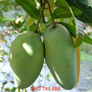 Xoài Đài Loan miền nam cây giống F1