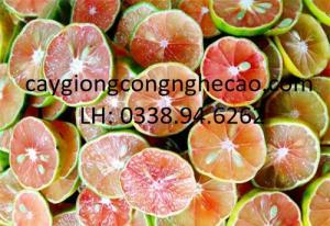 Cung cấp giống cây: Chanh Đào Tứ Quý
