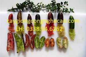 Cung cấp giống cây: Chanh Ngón Tay Mỹ Nữ