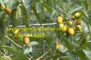 Cung cấp cây giống : Hồng giòn Đà Lạt