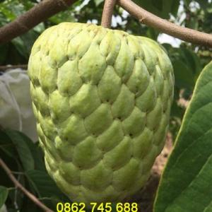 Cây giống na thái cây giống nhập khẩu