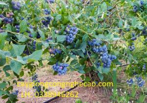 Cung cấp giống cây: Việt Quất ( Sim Úc)