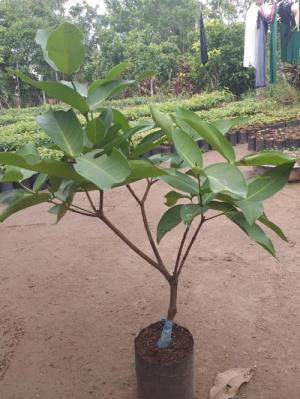 Cung cấp cây roi ( miềnNam gọi là cây Mận )