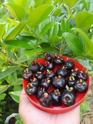 Mua giống cây cherry ở Hà Nội-Giống cây cherry brazin giống