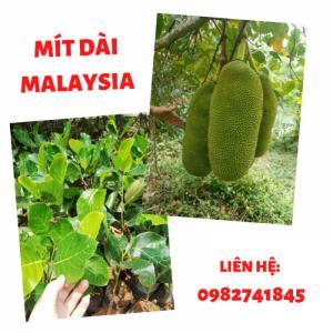SỰ ĐỘC ĐÁO CỦA MÍT DÀI MALAYSIA