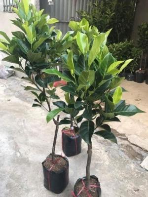 Cây Mít Thái siê sớm