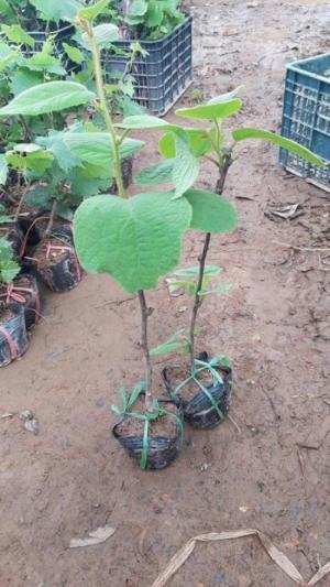 Giống cây Kiwi - đặc điểm cơ bản của cây giống