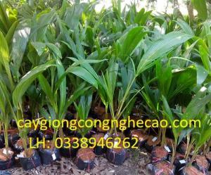 Cung cấp cây giống: Dừa Lửa