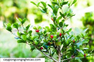 Cung cấp cây giống: Cây Thần Kỳ