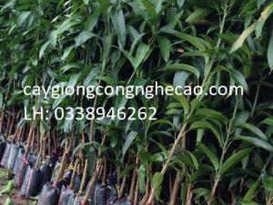 Cung cấp cây giống: Xoài Tím
