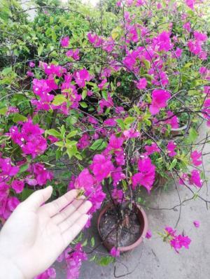 Cung cấp cây hoa giấy