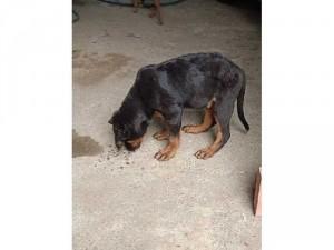 Bán chó Rottweiler Con