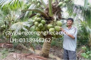 Cung cấp cây giống: Dừa Xiêm Xanh Lùn