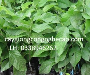 Cung cấp cây giống: Na Thái Lan