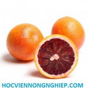 Cây cam máu - cây giống chuẩn loại F1