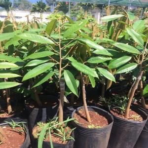 Cung cấp cây giống sầu riêng Musaking