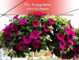 Chuyên cung cấp cây giống hoa Dạ Yến Thảo