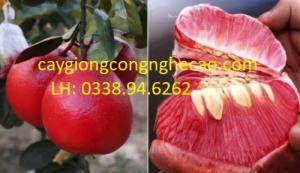Cung cấp giống cây: Bưởi Đỏ Luận Văn