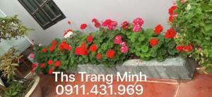 Chuyên cung cấp cây giống Phong Lữ đứng