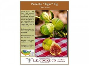 Sung Mỹ Panache - Panache fig