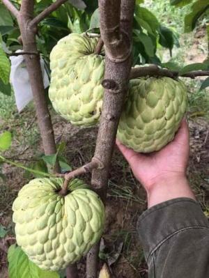 Cung cấp cây giống Na Thái