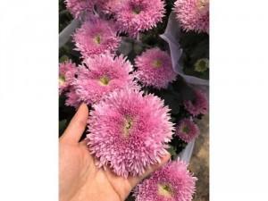 Cúc Pink Teddy - Cúc Gấu Bông