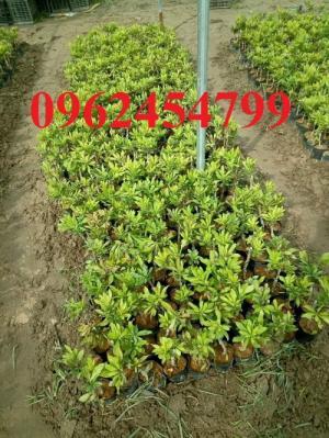 Bán giống cây thanh mai nhập khẩu chuẩn giống, giao hàng toàn quốc