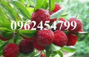 Bán giống cây thanh mai nhập khẩu chuẩn giống, giao hàng toàn quốc 0962454799