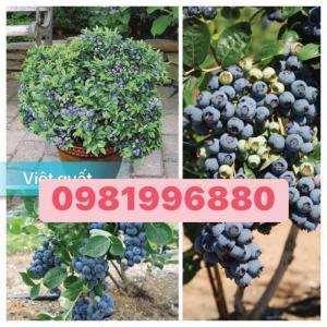 Cung cấp cây giống - cây  Việt Quất giống