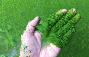 Cung cấp sỉ men vi sinh cắt tảo nguyên liệu