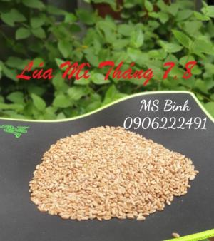 Lúa Mỳ - Nguyên liệu thức ăn chăn nuôi
