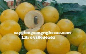 Cung cấp cây giống: Vú sữa Hoàng Kim