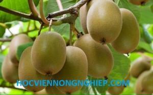 Cung cấp cây Kiwi giống - Cách trồng và chăm sóc