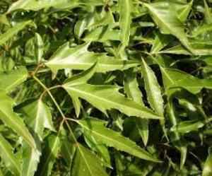 Biogreen cung cấp nguyên liệu cao dược liệu