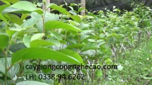 Cung cấp cây giống: Đào Tiên Chịu Nhiệt Nhật Bản