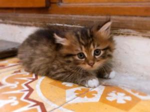 Cần bán mèo anh lông dài hơn 1 tháng tuổi