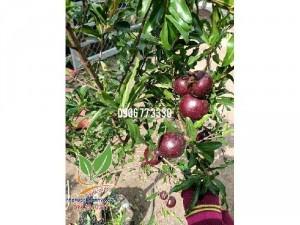 Lựu Nga đỏ mọng siêu ngon có cây lớn nhỏ
