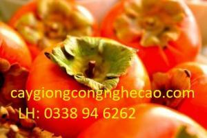 Cung cấp cây giống: Hồng Nhân Hậu