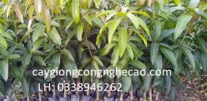 Cung cấp cây giống: Xoài Thái