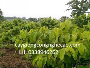 Cung cấp cây giống: Na Thái