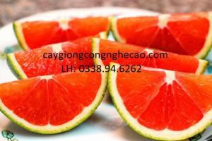 Cung cấp giống cây: Cam Cara
